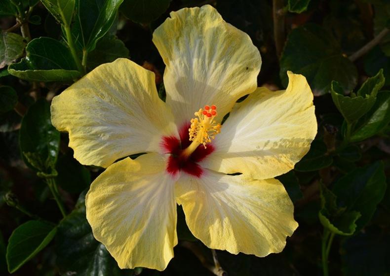 ibisco-dal-giardino-Residence-Pula-Sardegna.jpg